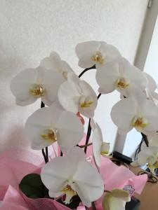 0301胡蝶蘭:小さいサイズ